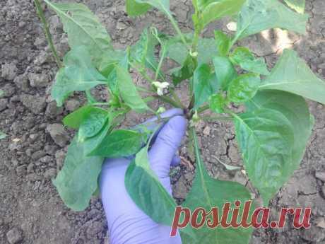 Как правильно пасынковать и формировать перец для получения хорошего урожая | Летний досуг | Яндекс Дзен