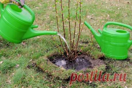 Как и чем поливать смородину | Prosad.ru: Все про сад и дачу | Яндекс Дзен