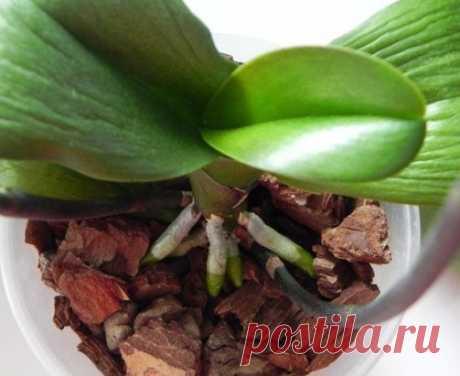 Реанимируем орхидеи. Орхидеи достаточно живучие растения, реанимация возможна, даже если цветок уже без корней. Каким бы плохим не казалось здоровье растения, всегда есть шанс на его спасение. Если все сделать верно, то уже спустя несколько месяцев орхидея пойдет на поправку, и сможет расцвести вновь! Если ваша орхидея осталась без листьев, высохли цветоносы, то пора делать реанимацию растения как можно скорее! Начать стоит с осмотра корней. Если они покрыты налетом или имеют ярко выраженные п