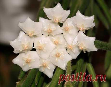 Hoyya Linearis — la planta trepadora hermosa