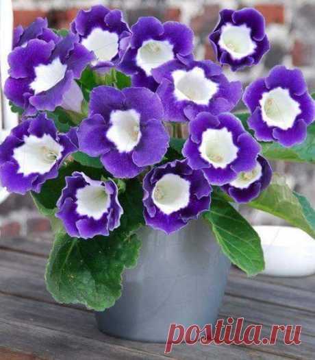 Очаровательные глоксинии)))