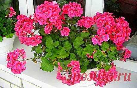 Нужна всего 1 капля йода, чтобы герань всегда радовала цветением! Полезные советы. - life4women.ru