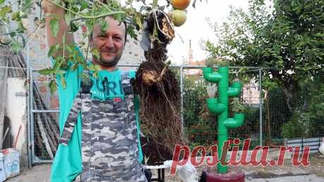 Скрещиваем помидор с картофелем, получаем удивительное растение Наверное, каждый знает, что можно привить ветку одного садового растения на другое этого же рода, к примеру, персик на абрикос. В итоге на полученном дереве будут расти 2 вида плодов. Это работает и с огородными культурами. Можно соединить томат и картофель. В итоге у нового растения вверху будут