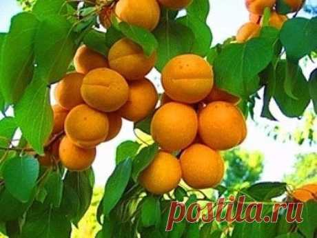 Если ты посадил абрикос на своём садовом участке, то должен помнить!!! | 6 соток