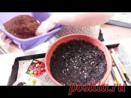 С цветами по жизни!: Сеем циннию букетным способом сразу в кашпо
