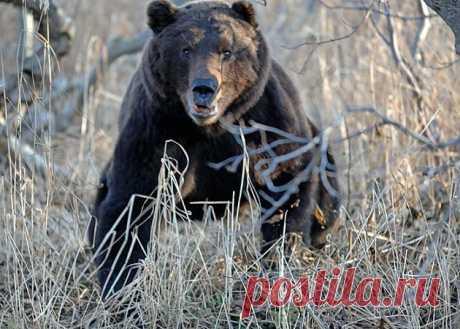 Снова о медведях (Анатолий Шишкин) / Проза.ру