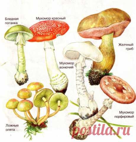 Грибы съедобные и ядовитые. Описания и виды грибов с фото.