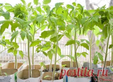 Когда сажать помидоры на рассаду в 2019 году по лунному календарю - благоприятное время для посева по регионам, пересадка в теплицу, в открытый грунт