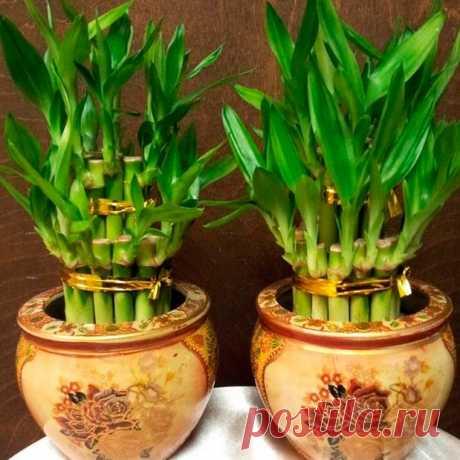 Комнатное растение Бамбук (Bambusa). Бамбуки относятся к злакам, однако это могут быть гигантские растения. Различные виды бамбуков встречаются в Юго-Восточной Азии, а также в тропиках Австралии и Америки. В последние годы оригинальные небольшие композиции из штамбиков бамбука стали чрезвычайно популярны среди любителей декоративных экзотических растений. Связанные вместе пучком кусочки стеблей бамбука можно выращивать с помощью методов гидропоники в изящных керамических вазочках.