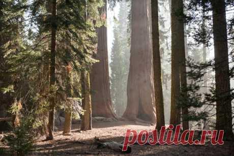 Misterioso y potente. La secoya en el parque nacional de los EEUU. La forografía Aleksandry Rogozinoy, nat-geo.ru\/photo\/user\/8186