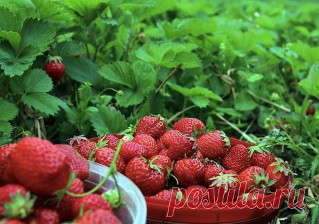 Поливая клубнику этими подкормками, ягод станет в разы больше   Дом, Сад и Огород   Яндекс Дзен