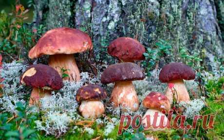 Грибные места: сделай сам  Любите собирать грибы, но ехать за ними в настоящие грибные места далеко? Можно попробовать посеять грибы на даче. Есть несколько способов их разведения – пересадка грибницы, выращивание из мицелия. Мы расскажем о том, как сеять грибы самым простым способом – с помощью грибной рассады.  Для начала нужно приготовить саму рассаду. Делается это так: берем шляпки перезревших грибов, мелко крошим их или перемалываем на мясорубке, закладываем в бутыль ...