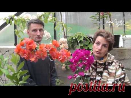 """Редкие комнатные цветы.Как вырастить бугенвилию дома. Сайт """"Садовый мир"""""""