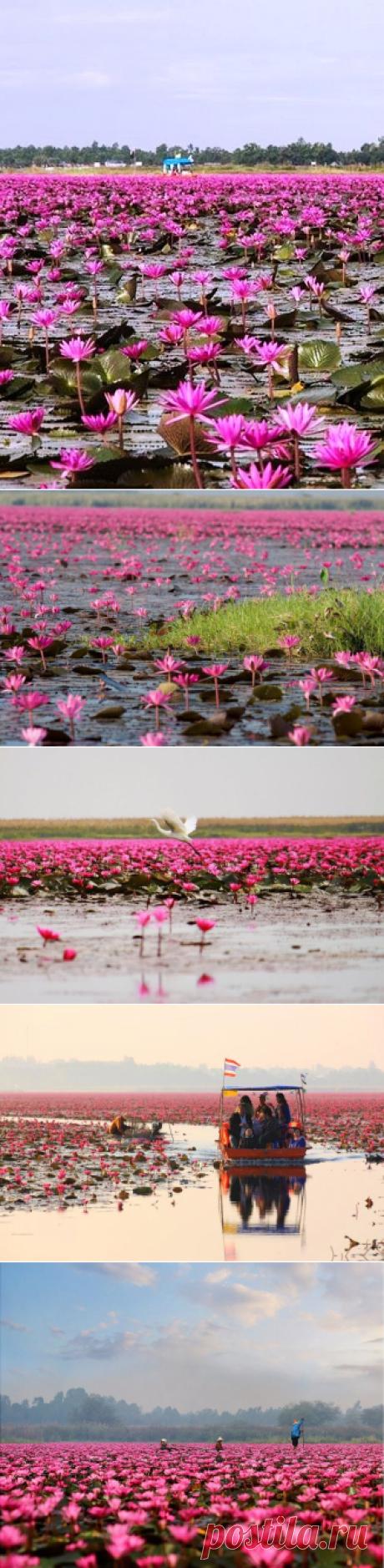 """Озеро невероятной красоты — """"море красных лотосов"""" в Таиланде"""