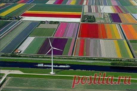 Поля тюльпанов в Голландии.
