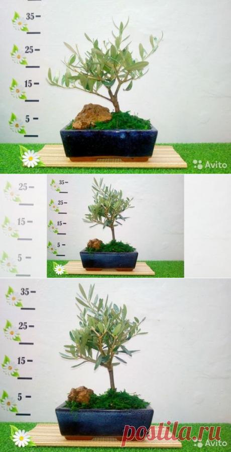 Оливковое дерево Бонсай купить вЧелябинске | Товары для дома идачи | Авито