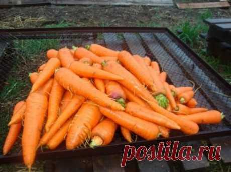 Чудо-раствор для моркови   Перед посевом моркови нужно подготовить грядку. Для этого в стакане воды развести 3 гр марганцовки.Полученный раствор вылить в 10 - ти литровое ведро с водой, размешать и с лейки хорошо полить всю грядку под морковь. После появления первых всходов, сразу же проредить морковь, не дожидаясь когда корешки подрастут, чтобы меньше травмировать растение. После прореживания полить грядку обычной водой и через полчаса полить подкормкой.Приготовить такой ...