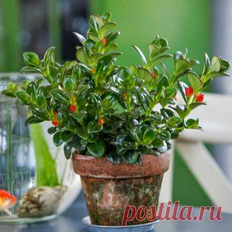 Комнатное растение Гипоцирта (Hypocyrta). Вечнозеленый кустарник, чьей родиной являются тропики Америки. Побеги гипоцирты свешиваются вниз, поэтому это некрупное растение лучше выращивать как ампельное. Цветет летом. Желто-оранжевые трубчатые цветки располагаются в пазухах листьев. Кустик гипоцирты, густо покрытый многочисленными каплевидными цветками, смотрится чрезвычайно декоративно. После цветения растения требуется обрезка. Размножение производят верхушечными и стеблевыми черенками летом.