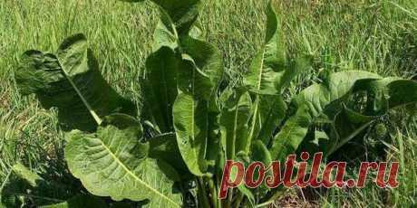 Хрен – единственное растение, способное вытягивать соль через поры кожи.  СДЕЛАЙТЕ – НЕ ПОЖАЛЕЕТЕ! Избавиться от всей соли, которая накопилась в организме и может привести к солевым болезненным отложениям, помогут листья хрена..  Напоминаю проверенный и безотказный рецепт.  Возьмите свежие крупные листья хрена – 2 шт. Перед сном окуните их с двух сторон кипяток и сразу положите на спину, захватывая шею. Обвяжите тканью. Возможно легкое жжение, но боли нет.  Утром осторожно...