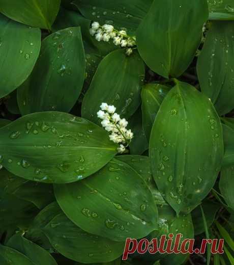 Ландыши после дождя. Автор – Федор Лашков: nat-geo.ru/photo/user/27510/