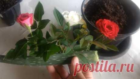 Поместите черенок розы в кусочек алоэ вера и поразитесь результату - Советы и Рецепты