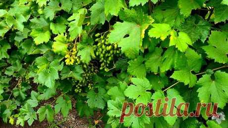 Лучший способ как определить, когда нужно поливать виноград | Виноград VM | Яндекс Дзен