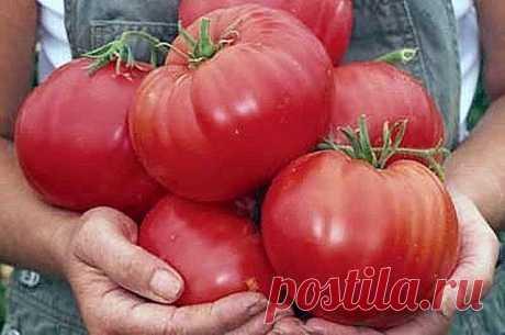 ЧТОБЫ ПОМИДОРЧИКИ БЫЛИ КРУПНЫМИ!  Чтобы любимые помидоры были крупными и созревали быстрее, приготовим для них полезные напитки:  - в 10 литров добавим 3-4 капли йода. Поливать томатные кустики следует под корень один раз в неделю в объеме 1,5-2 литра под каждое растение;  - заполните бочку объемом 200 л крапивой и листиками одуванчиков примерно на 1/3.  Добавьте в смесь ведро навоза, залейте водой. Для ускорения брожения накройте бочку пленкой. Примерно через 10 дней удоб...