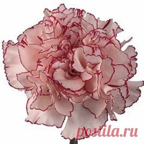 Amico - Гвоздика розовая - Гвоздики