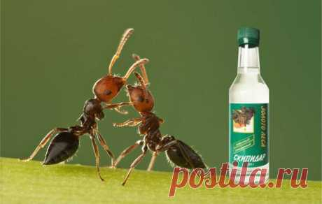 Скипидар изгнал муравьев с грядок | Идеи для дома и окружения | Яндекс Дзен