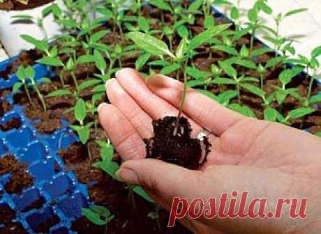 Выращивать семена в домашних условиях не так уж и сложно | Дача - впрок