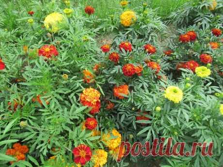 Как с пользой для яблони использую ботву бархатцев осенью и чем еще полезны для огорода | Дача ягодки цветочки | Яндекс Дзен