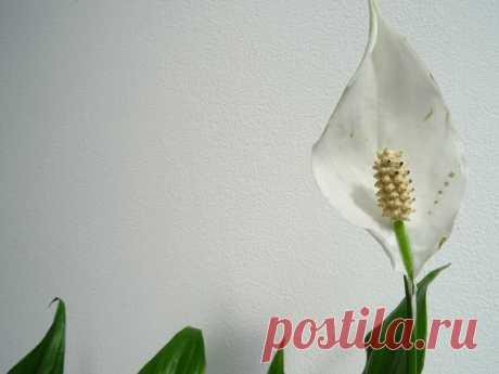 Спатифиллум — цветок, который приносит женщинам счастье, и как его вырастить Добрый день, мой читатель. У многих в коллекции комнатных растений есть нежный и эффектный цветок – спатифиллум. Неприхотливую и выносливую культуру в часто называют «женским счастьем», так как согласно примете, спатифиллум приносит в дом счастье, любовь и благополучие. Спатифиллум. Иллюстрация для статьи используется по... Читай дальше на сайте. Жми подробнее ➡