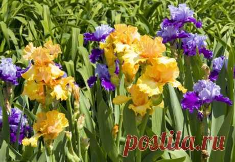 Почему не цветут ирисы? Выясняем причины и разбираемся, что делать   Прочие многолетники (Огород.ru)