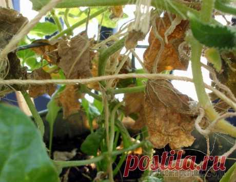 Почему у огурцов желтеют и сохнут листья и что с этим делать Что делать, если желтеют и вянут листья у огурцов? Как исправить ситуацию и спасти растение? Разбираемся, почему желтеют листья у огурцов в теплице, парнике или на грядке. В большинстве случаев пожелт...
