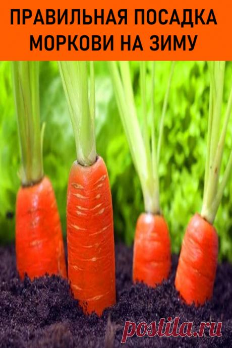 Правильная посадка моркови на зиму. Сохраняйте в закладки! Я всегда сажу морковку именно таким способом. #дача #огород #морковка #посадкаморкови