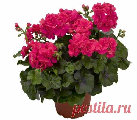 As the room geranium (geranium) breeds: cultivation from a shank, seeds, a method of division of a bush.