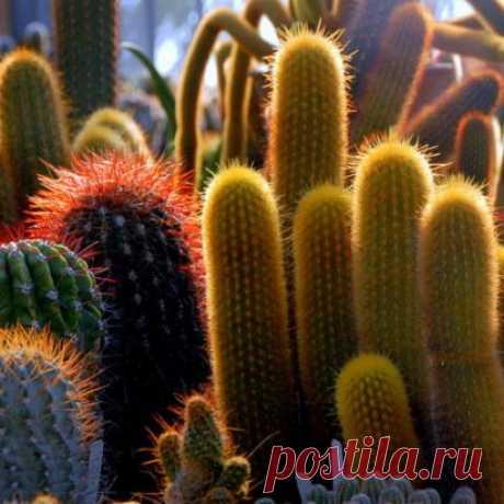 Полив кактусов Существует заблуждение о том,что кактусы можно совсем не поливать и им достаточно нескольких капель воды.Действительно кактусы не переносят излишней влаги,однако как...
