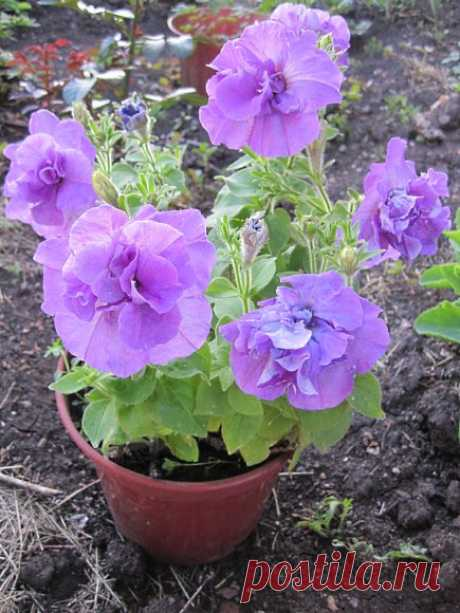 CULTIVATION OF THE LONG-TERM PETUNIA. COUNTRY EXPERIENCE