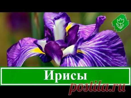 Цветы ирисы – выращивание: уход и посадка ирисов, сорта