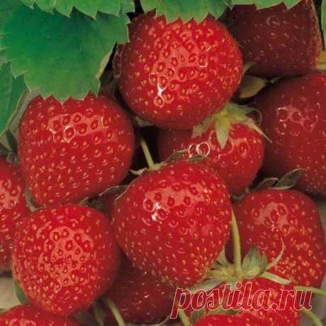 ¿Cómo restablecer correctamente la fresa después del invierno? - El boletín del floricultor