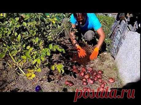 картофель озимый под сено и мох  1 часть - YouTube