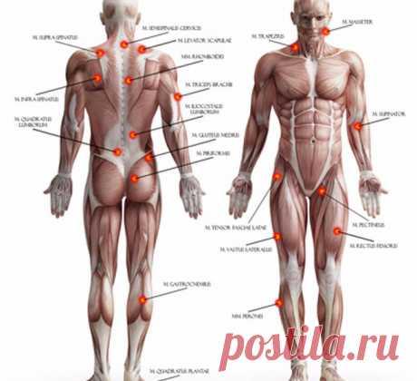 Феномен фасциально - связочной боли Экология здоровья: Фасции могут совершенно изолированно реализовать свои контрактильные свойства без участия мышц...