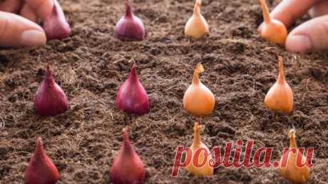 Благоприятные дни для посадки лука в октябре в 2021 году под зиму по лунному календарю