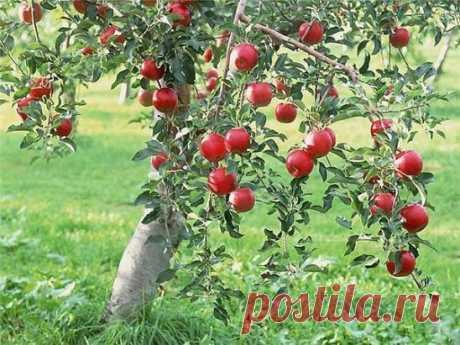 Как правильно ухаживать за яблонями, чтобы увеличть урожай яблок  Поддерживающая терапия В первую очередь надо «запустить корни» и кору яблонек. Все это сделать до примитивного просто. «Разогреваем кору» бороздованием. Прорезаем кору на ветвях и стволе вдоль до древесины одной целой линией до самой земли. На ветках - по одной борозде, на стволе - две, с двух сторон. Кора стягивает ствол «хомутом» и мешает нарастать новым проводящим тканям. Отпускаем «хомут», и ствол утолщается. Борозды следует