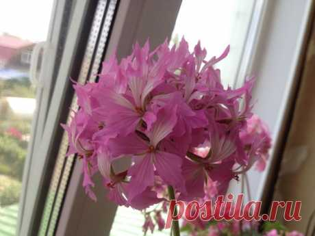 Лучшие подкормки для герани: непрерывное цветение без банановой кожуры | Есть время под солнцем | Яндекс Дзен