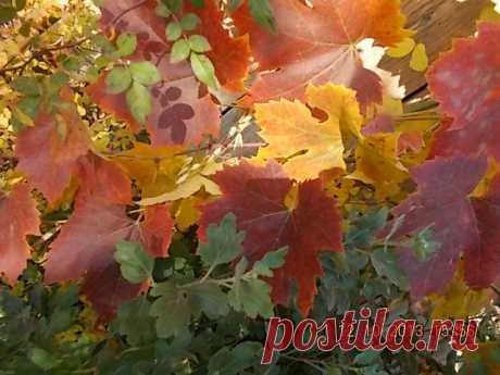 Сплелись листья винограда, розы и хризантемы