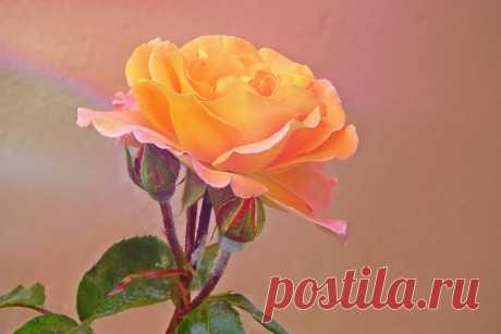 Почему у розы краснеют листья - основные причины