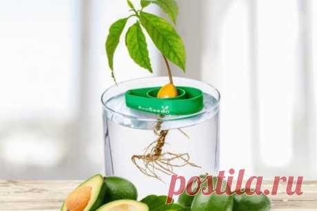 Как вырастить авокадо из косточки в домашних условиях.