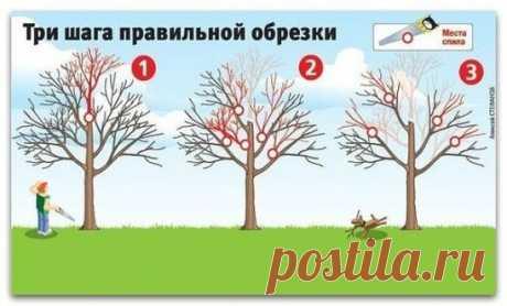 Как вернуть деревьям былую силу [три шага правильной обрезки] Плодовые деревья дают хороший урожай, когда они молодые. Но начиная с 15-летнего возраста их плоды заметно мельчают, урожайность падает, а сами растения чаще болеют. Омолодить ваш сад поможет обрезка. Лучше всего ее делать, когда температура воздуха выше -5 оС. 1. Первым делом нужно укоротить ствол (шаг 1) - его высота не должна превышать двух метров. Только пилите его так, чтобы срез был над какой-нибудь крупной веткой. Иначе о