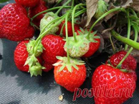 Секреты выращивания сладкой клубники - медиаплатформа МирТесен Каждому дачнику хочется, чтобы выращиваемая им клубника неизменно оказывалась крупной, сочной и сладкой. Однако порой ягодки вырастают очень кислыми, и если для переработки они вполне сгодятся, то в чистом виде слишком много кислых ягод уже не съесть! Почему же клубника может вырасти кислой, и что